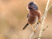 Robin in the bird seed field.