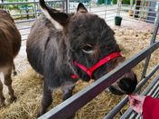 PONIES ARRIVE WITH SANTA AT BAWDSWELL GARDEN CENTRE