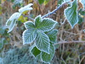 PROJECT 52, FROST, IN THE HEDGEROW