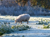 PROJECT 52, FROST, SHEEP ON A FROSTY MEADOW