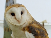 BARN OWL AT PENSTORPE
