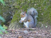 SQUIRREL IN THE WOODS AT FAKENHAM