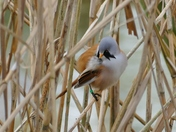 BEARDED REEDLING AT PENSTHORPE
