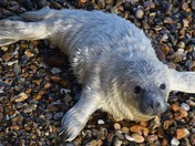 Another Grey Seal Pup
