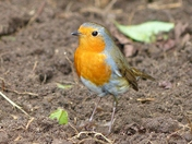 ROBIN KEEPING ME COMPANY IN THE GARDEN