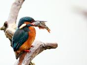 Kingfishers at Lackford