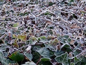 Frost on the ivy hedge
