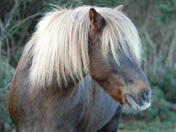 Wild horses at Holt Country Park