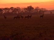 Deers at Dawn.