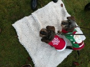 Dogs at Sandringham wearing their Christmas jumpers