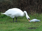 Birds of a Feather at Whitlingham