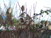 Sparrows at Potter Heigham