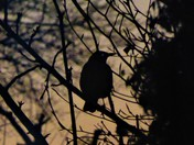 Blackbird at Dusk