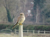Kestrel outside my place of work today