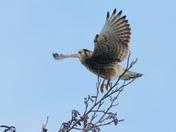 Kestrel takeoff