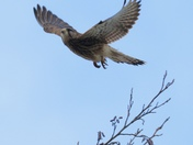 Kestrel takeoff