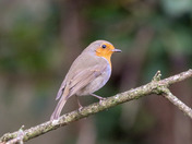 Robin red breast uk favourite bird