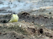 Blue Headed Eastern Yellow Wagtail.