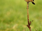 Stonechat and more SEO!