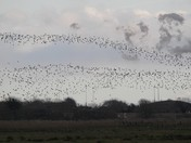 Michelangelo and the Murmuration