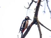 Woodpeckers drumming