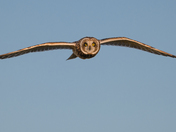Short-eared owl flew close