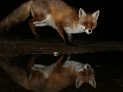 Mr Fox and the puddle.