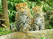 Amur Leopard cubs at Colchester Zoo.