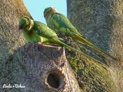Parakeets in Ipswich