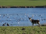 Holkham Deer