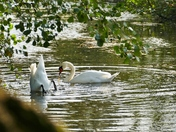 SWANS ON THE WENSUM