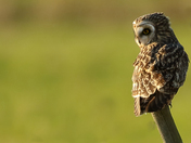 Short Eared Owls in the sun