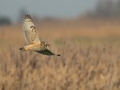 A Short-Eared Owl Twists & Turns.