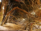 PROJ 52, HIDDEN, ROOTS OF THE YEW HEDGE AT BLICKLING HALL HIDDEN FROM VIEW