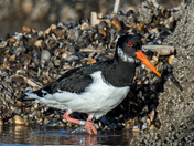 Oystercatchers on Hunstanton beach