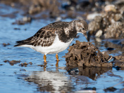 Turnstone on the beach.
