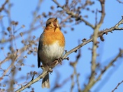 Robin Redbreast Singing his heart out