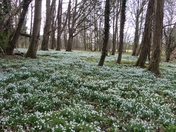 SNOWDROP WALK AT WALSINGHAM ABBEY