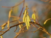 CATKIN'S ADORN THE TREES