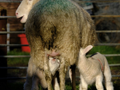 New born lambs -  twins feeding