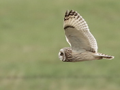 Male and female Short eared Owls .