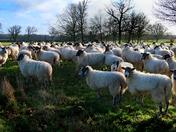 Sheep enjoying winter sunshine in a field at Blickling Hall estate