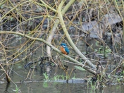 Kingfisher at Horstead Mill