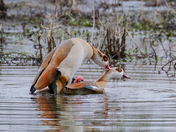 Egyptian geese getting passionate