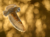 Barn Owl hunting this evening