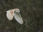 A very windy & wet Barn Owl