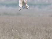 Barn owl floating over the meadow on a winter morning