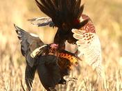 Pheasants having a good old scrap. Fen Farm.