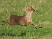 Chinese Water Deer in action.