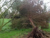 Fallen conifer